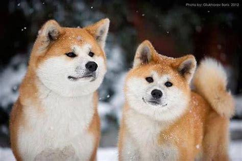 akita google search  cutest animals akita dog