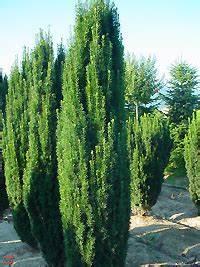 Thuja Smaragd Wachstum : taxus baccata 39 fastigiata 39 g nstig bestellen baumschule ~ Michelbontemps.com Haus und Dekorationen