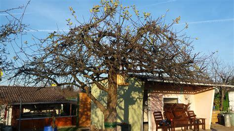 alten apfelbaum schneiden alten apfelbaum schneiden wer weiss was de
