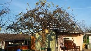 Apfelbaum Wann Schneiden : alten apfelbaum schneiden wer weiss ~ Frokenaadalensverden.com Haus und Dekorationen
