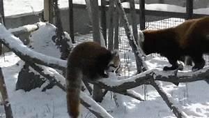 loadhigh tumblr.com, red panda acrobatics