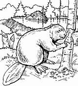 Beaver Coloring Pages Wood Animals Printable Drawing Dam Drawings Beavers Print Sheets Animal Bever Exotic Scouts Colouring Canada Line Carving sketch template