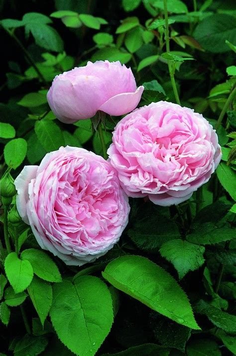 planting david roses spirit of freedom florist s plantica