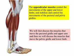 12 Appendicular Muscles