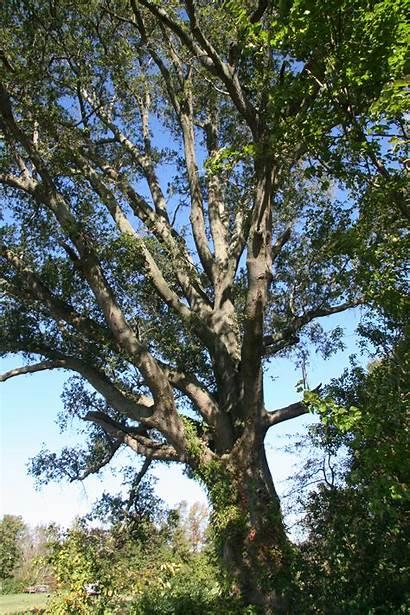 Oak Willow Trees Delaware Delawaretrees