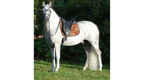 colt andalusian pure spanish additional information