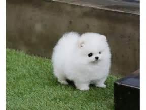 White Toy Pomeranian Puppies
