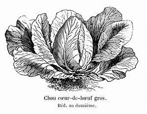 Chou Coeur De Boeuf : file chou c ur de b uf gros vilmorin andrieux ~ Dailycaller-alerts.com Idées de Décoration