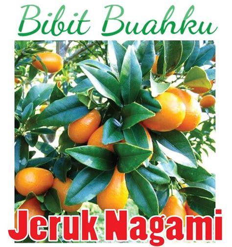 jual bibit jeruk nagami bisa dimakan bersama kulitnya