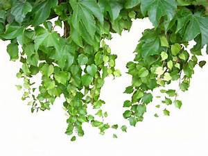 Hopfen Im Kübel Pflanzen : geeignete kletterpflanzen f r den balkon ~ Markanthonyermac.com Haus und Dekorationen