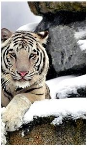 Pin on White Tigers