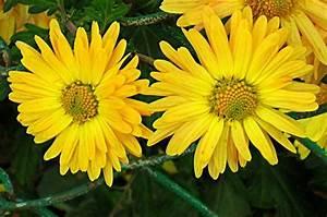 Gelbe Winterharte Pflanzen : bild blumen gelb pflanze fotografie von igor marinovsky bei kunstnet ~ Markanthonyermac.com Haus und Dekorationen