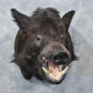 Black Boar Mount #12020 - The Taxidermy Store
