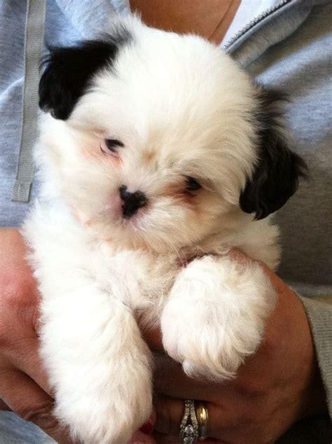 adorable shih tzu puppy  weeks   white