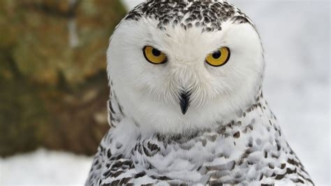 Hd Owl Wallpapers by Owl Wallpapers Pictures Hd Wallpapers