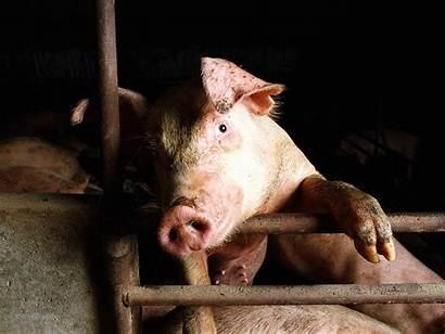 Pigs Pig Wallpapers Animal Drugs Guns Animals