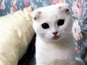 white scottish fold lovely 1600x1200 wallpapers scottish fold 1600x1200 wallpapers pictures