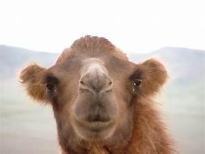Course De Chameau : 039 portrait de chameau mongolie lynel25 photos club doctissimo ~ Medecine-chirurgie-esthetiques.com Avis de Voitures