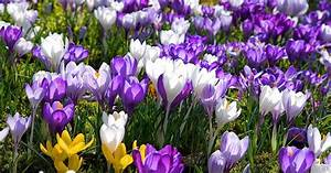 Wann Krokusse Pflanzen : krokus in den rasen pflanzen mein sch ner garten ~ A.2002-acura-tl-radio.info Haus und Dekorationen