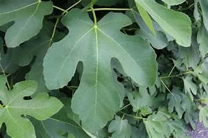 Olivenbaum Im Wohnzimmer überwintern : feigenbaum erfolgreich berwintern in der wohnung und im freien ~ Markanthonyermac.com Haus und Dekorationen