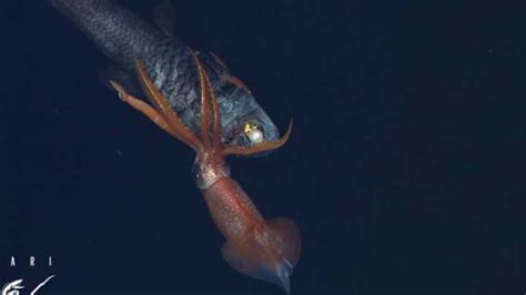 video deep sea showdown  squid  fish iflscience