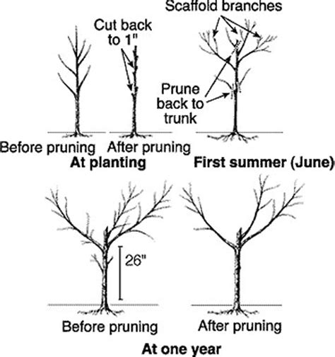 peach tree pruning guide apple pear pruning guide we