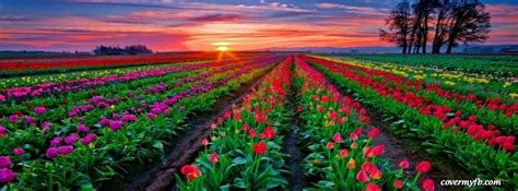 rainbow  tulips facebook covers  rainbow  tulips