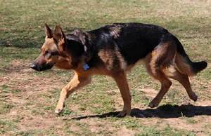 Primer on German shepherd markings – Doggerel