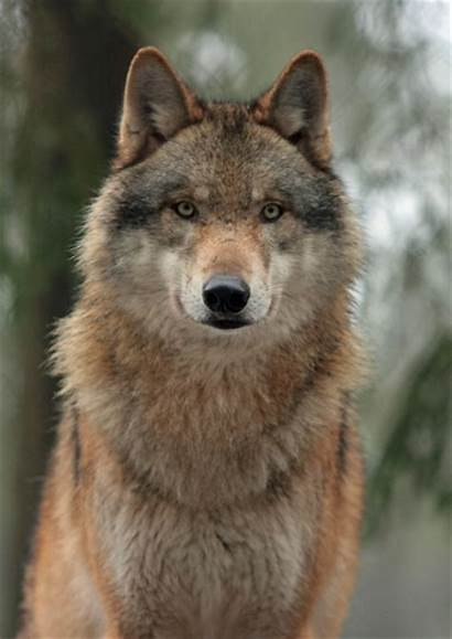Wolf Wolves Animal Adopt Dogs Costume Every