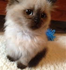 breeds of cats that don t shed want this cat its called a ragdoll they re hypoallergenic