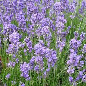 Plantes Et Jardin : lavande 39 grosso 39 plantes et jardins ~ Melissatoandfro.com Idées de Décoration