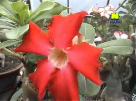 pupuk organik nasa tanaman hias anthurium hasil