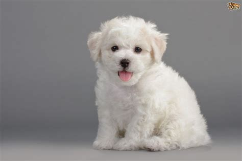 non shedding small breeds best non shedding small dogs non shedding breeds