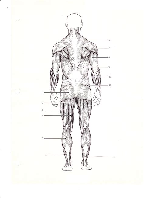 diagrams  muscular system