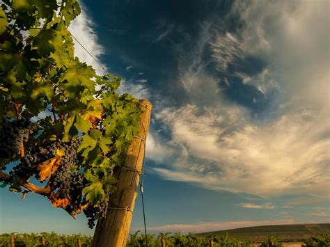 grapes washington wine state vineyards ava grape vines