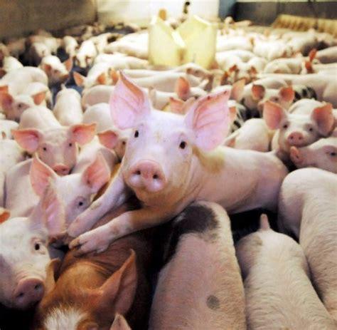 landwirtschaft bio schweine nein danke welt