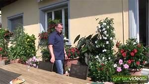 Wie Pflege Ich Hortensien : wie pflege ich mandevilla dipladenia im topf youtube ~ Frokenaadalensverden.com Haus und Dekorationen
