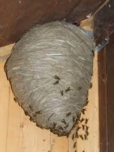 Feldwespen Nest Entfernen : other bees and wasps east lancashire beekeepers association ~ Frokenaadalensverden.com Haus und Dekorationen
