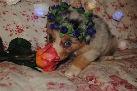 shamrock rose aussies   shamrock rose