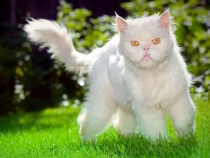 Cat Cats Fluffy Grumpy Ugly Desktop Animals