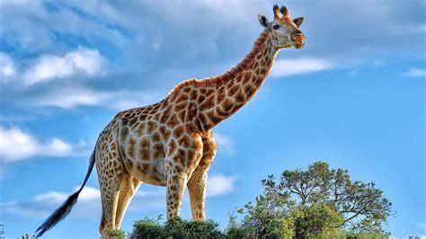 1920x1080 Giraffe Laptop Full Hd 1080p Hd 4k Wallpapers