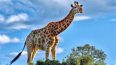 Giraffe Wallpapers Laptop 1080p Animals 4k Resolution