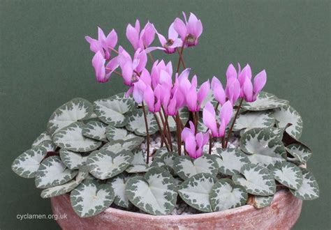 cyclamen purpurascens cyclamen society