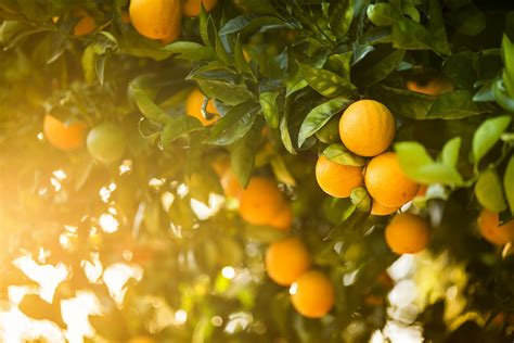 Calories And Health Benefits Of Oranges