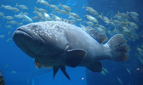 grouper fish ocean sea lanceolatus giant epinephelus underwater deniz wallpaperup sealife chevron right animals hd