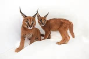 cat gestation period 19 best images about felinos on gestation