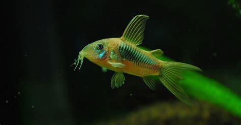 aquarium catfish species  pictures