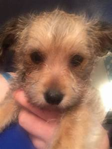 Pom-chi-poo puppies all sold | Deeside, Clwyd | Pets4Homes