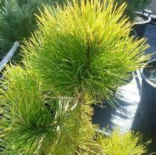 Abies concolor 'Wintergold' Vienkrāsas baltegle ...