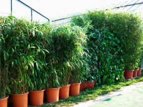 sichtschutz balkon pflanzen schnellwachsende pflanzen sichtschutz balkon carprola for